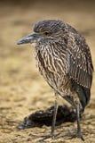 airone di notte Giallo-incoronato, Galapagos Fotografia Stock Libera da Diritti