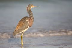 Airone di Tricolored sul litorale alla laguna di Estero Fotografie Stock