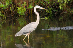 Airone ed alligatore di grande blu Immagine Stock Libera da Diritti
