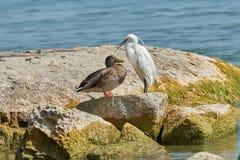 Airone ed anatra su roccia Fotografie Stock