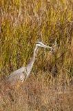 Airone grigio Fotografie Stock Libere da Diritti