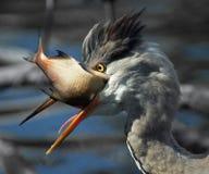 Airone grigio (Ardea cinerea) Fotografie Stock Libere da Diritti