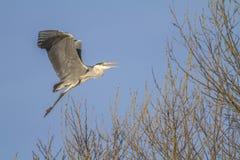 Airone grigio (Ardea cinerea) Fotografia Stock