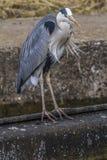 Airone grigio (Ardea cinerea) Fotografia Stock Libera da Diritti