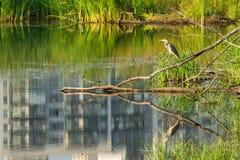 Airone grigio dell'uccello in uno stagno della città Immagini Stock