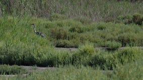 Airone grigio nell'erba in 4k archivi video