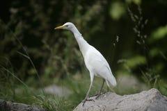 Airone guardabuoi, bubulcus ibis immagine stock