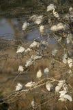 Airone guardabuoi, bubulcus ibis fotografia stock