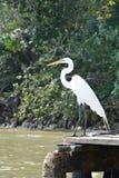 Airone maestoso vicino al fiume Guatemala fotografia stock libera da diritti