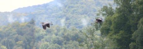 Airone nel cielo Fotografia Stock Libera da Diritti