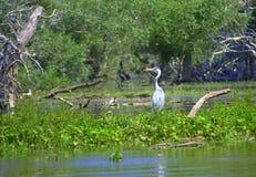 Airone nel lago Kerkini, Grecia Fotografia Stock