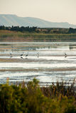 Airone nella riserva naturale di Vendicari in Sicilia Immagini Stock Libere da Diritti