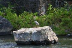 Airone su una roccia Fotografie Stock Libere da Diritti