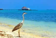 Airone sulla spiaggia delle Maldive Fotografia Stock Libera da Diritti
