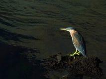 Airone verde   Fotografia Stock Libera da Diritti