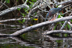 Airone verde che guarda fuori per il pesce nell'acqua Butorides Viresce Fotografia Stock Libera da Diritti