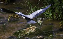 Airone verde da un fiume Fotografia Stock