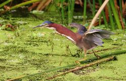 Airone verde (Fishin andato) Fotografie Stock