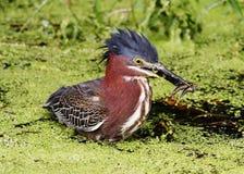Airone verde (Fishin andato) Fotografia Stock