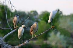 Aironi di notte ed Egrets di Snowy incoronati il nero fotografia stock