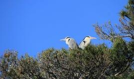 Aironi in un albero, Camargue, Francia fotografia stock libera da diritti
