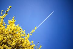 Airplane condensation trail going up on blue sky. Yellow blooming bush background. Prosperity concept royalty free stock image