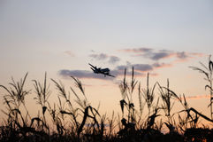 Airplane in evening sky abov ecorn field Stock Image