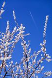 Airplane flying over Amazing Blooming white Flowers with blue sky  in Spring royalty free stock photos
