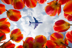 Airplane flying over blooming red tulips