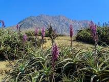 airplant的淡紫色 免版税库存图片