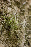 An airplant growing on a prickly bark of a tree Stock Images