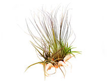 Airplant in a shell Royalty Free Stock Photography