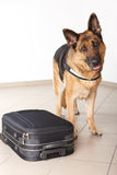 Airport canine Royalty Free Stock Photos