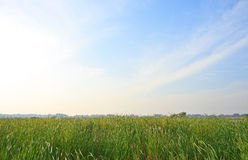 Airy grass Royalty Free Stock Image