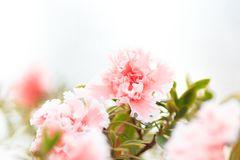 Airy tender rosy bud. Almost white, pure and clear. Beautiful blurry background for any design purposes Royalty Free Stock Image