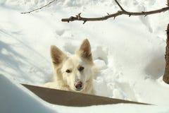 Aisha το αγαπημένο άσπρο σκυλί μου στη γωνία από το παράθυρο Στοκ Εικόνες