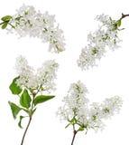 Aislado cuatro ramas blancas puras de la lila imagen de archivo