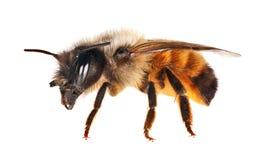 Aislado en la pequeña abeja blanca Foto de archivo