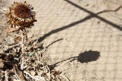 Aislamiento de la alcachofa Fotos de archivo