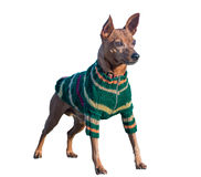 Aislamiento del perro Fotos de archivo libres de regalías