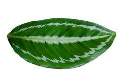 Aislante blanco del fondo de la raya del perno del ornata de Calathea de las hojas foto de archivo libre de regalías