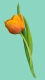 Aislante blando precioso hermoso de vida de la planta de la sola flor del tulipán Foto de archivo libre de regalías