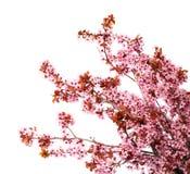 Aislante de la flor de cerezo en blanco Sakura Foto de archivo libre de regalías