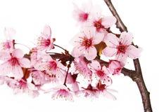 Aislante de la flor de cerezo en blanco Sakura Flores hermosas Imágenes de archivo libres de regalías