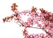 Aislante de la flor de cerezo Sakura Flores rosadas hermosas Imágenes de archivo libres de regalías