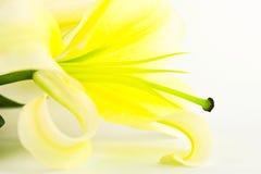 Aislante de la flor del lirio en blanco Imagen de archivo