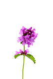 Aislante de la flor del Stachys en un fondo blanco Imagen de archivo