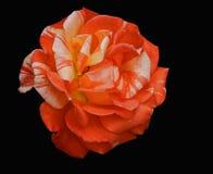 Aislante de la flor de Rose en fondo negro Fotos de archivo libres de regalías