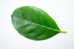 Aislante de la hoja del Jackfruit en el fondo blanco Imágenes de archivo libres de regalías