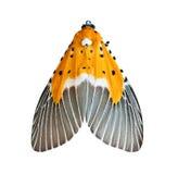 Aislante de la mariposa de la noche Foto de archivo libre de regalías